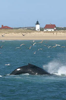 A black whale tail about to come out of the water, with the lighthouse in the background, water is very blue